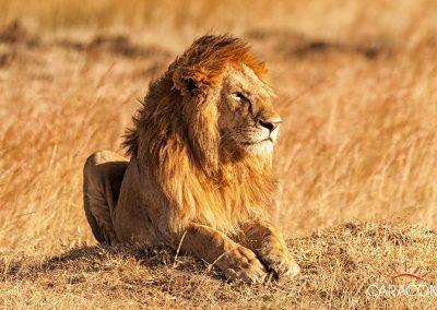 voyage-lion-afrique-safari